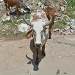 Cow Stares at Camera (StreetView)