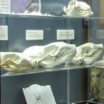 Seal skulls