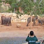 Asian elephants (StreetView)