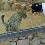 Persian leopard (StreetView)