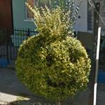 Smiley topiary (StreetView)