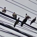 Pigeons on power lines (StreetView)
