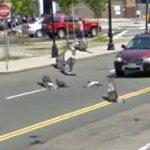 Flock of pidgeons (StreetView)
