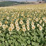 Sunflowers in Auribail