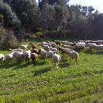 Flock of sheep (StreetView)