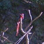 Parrot (StreetView)