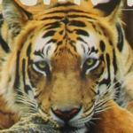 Tiger (StreetView)