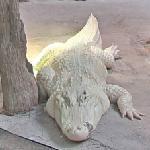 White American alligator (StreetView)