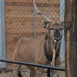 Giant eland (StreetView)