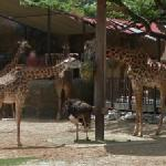 Giraffes and ostriches (StreetView)