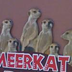 Meerkats (StreetView)