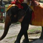 Elephants Carrying People (StreetView)