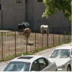 Horses Grazing In Downtown Chicago (StreetView)
