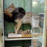 Taxidermied coyote