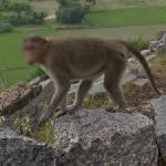 Monkey in the Krishnagiri Fort