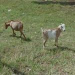 Goats (StreetView)
