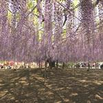 Old Wisteria in Ashikaga Flower Park