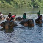Asian elephants in the water