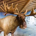 Moose (StreetView)