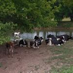 Cows in the river (StreetView)
