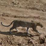 Leopard (StreetView)