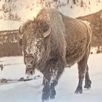 Snowy Bison (StreetView)