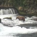 Grizzly at Brooks Falls