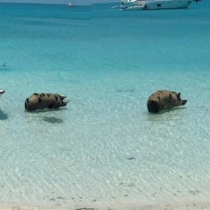 Bathing pigs on Pig Beach (StreetView)