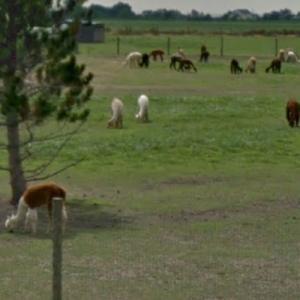Alpacas (StreetView)