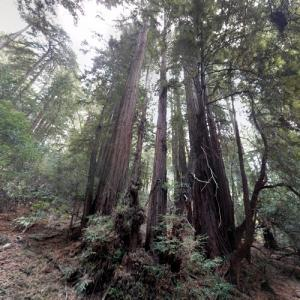 Muir Woods National Monument (StreetView)