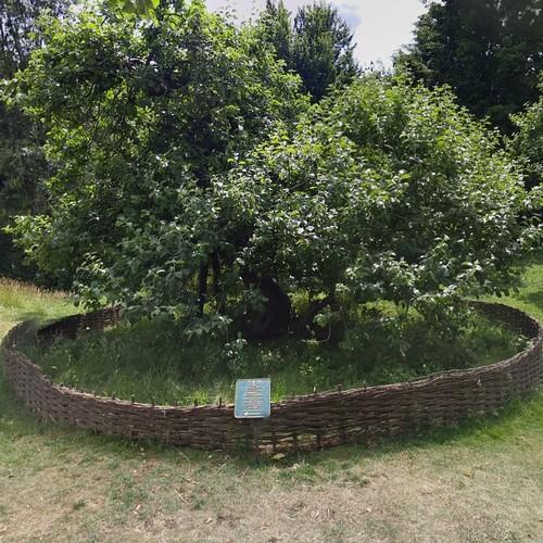 Sir Isaac Newton's apple tree (StreetView)
