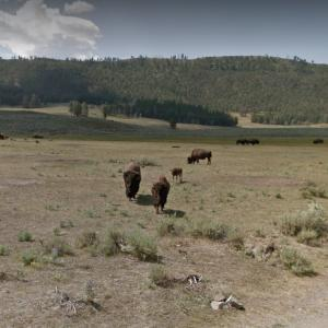 Yellowstone Bison Herd (StreetView)