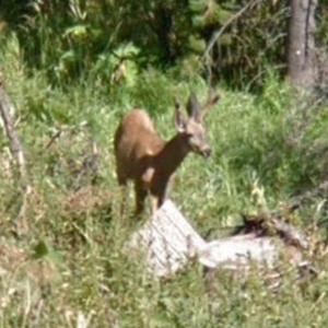 Deer (StreetView)