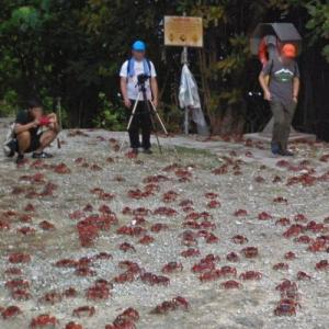 Christmas Island Red Crab Migration (StreetView)
