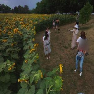 Bogle Seeds sunflower field and selfie tourists (StreetView)
