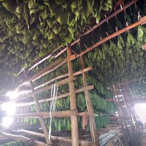 Curing tobacco at Finca El Pinar (StreetView)