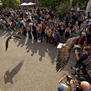 Bald eagle in flight show (StreetView)