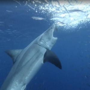 Feeding shark (StreetView)