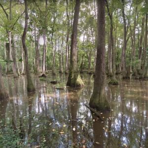 Cypress Swamp (Natchez Trace) (StreetView)