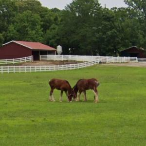 Budweiser Clydesdales at Grant's Farm (StreetView)