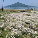 Sea of daisies