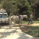 Horse on the street (StreetView)