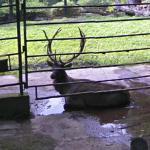 Siberian Elk