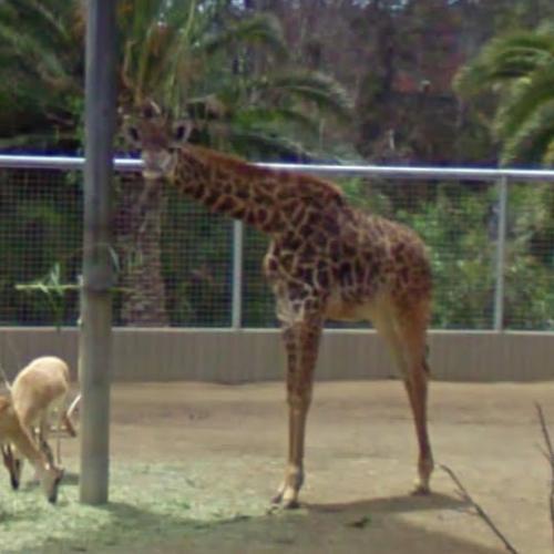 Giraffe (StreetView)