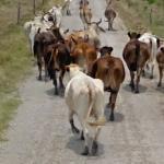 Google Cattle Drive (StreetView)