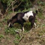Goats (StreetView)