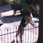 German Shepherd Dog (StreetView)